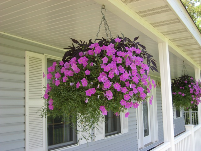 Lantana Hanging Basket Awesome Kerry's Garden 60 Proven Winners